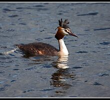 Great Crested Grebe by Shaun Whiteman