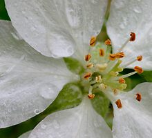 Wet Apple Blossom, Up Close and VERY Personal! (as-is) by Gene Walls