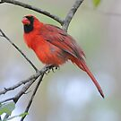 Cardinal by abelinc