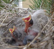 MOMMY FEED ME - baby cassins finches by janetmarston