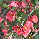 Flowering Quince by Karen K Smith