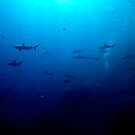 Blacktip &amp; Whitetip Reef Sharks by Melissa Fiene