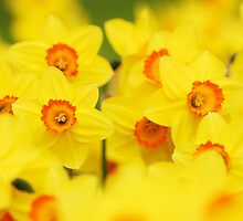 Happy yellow daffodils by Mirka Rueda Rodriguez