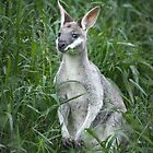 Whiptail Wallaby I by DanielBustPhoto