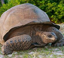 Giant Aldabra Tortoise by Gina Ruttle  (Whalegeek)