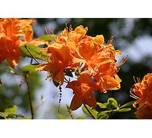 orange azalia Photographic Print