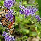 Monarch and Purple Flowers by Rosalie Scanlon