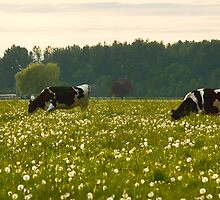 Happy Cows! by Appel