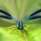 Damselfly by jimmy hoffman