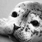 Baby Harbor Seal by Kimberley Mazzoni