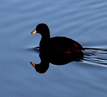 Duck in Water by julesdavis