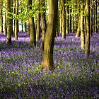 Bluebells by Mark Thompson