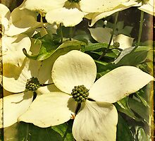 Dogwood by Angelafaye