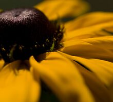 Rudbeckia Gold by Jenni77