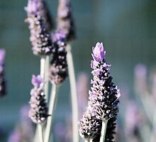 Lavender by MartineDF