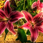 Lily. by JohnArnold