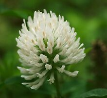 White All Over Clover by Richard G Witham