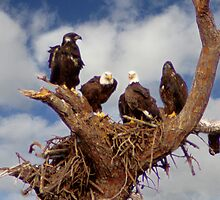BALD EAGLES FAMILY PORTRAIT by TomBaumker