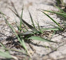 Dune grass by OrbitalPete