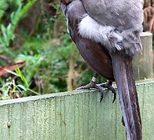 Female Superb Lyrebird by David Sumner