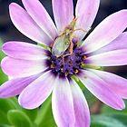 Daisybug by R&PChristianDesign &Photography