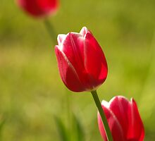 Three Red Tulips by Marko Palm