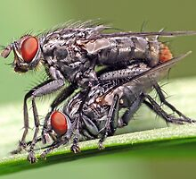 Mating Flies (1) ! by robkal