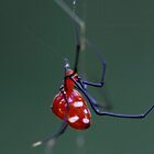 Little Red Riding Hood (Argyrodes miniaceus) by Normf
