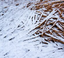 Snowy stalks by Rainer Kuehnl