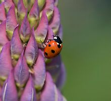Ladybird hanging onto a lupin! by Carole Stevens