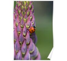 Ladybird hanging onto a lupin! Poster
