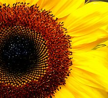 Sunflower by groova