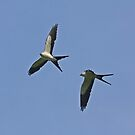 Swallow-tailed Kites by Jim Johnson