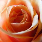 peach rose by Jane Turnbull