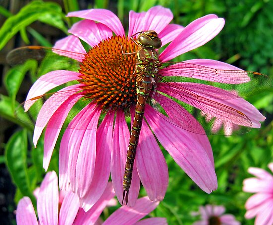 Dragonfly & Echinacea by Vickie Emms