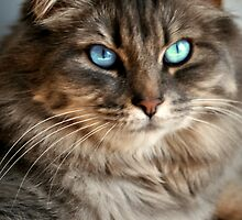 Beautiful Blue Eyes Tabby by terrebo