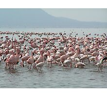 Pink Flamingos Photographic Print