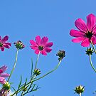 Cosmos by Digby