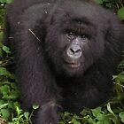 Gorillas by Kellie Scott