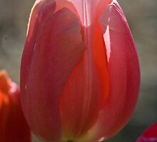 Tulip 7 by Martha Johnson