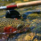 Wild Rainbow Trout . by Donovan wilson