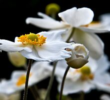 White Flowers by Debbie Ryan