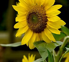 Sunflower by Debbie Ryan