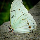  WHITE MORPHO (Morpho polyphemus)  by Johan  Nijenhuis
