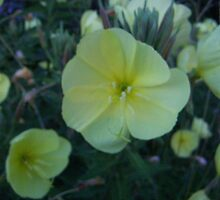 Evening Primrose by Sherry O'Neill