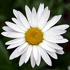Bundanoon Daisy by Samantha Bailey