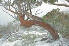 Snow Gum by Donovan wilson