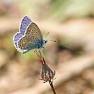 Turkish Common Blue by Robert Abraham