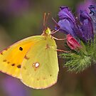 Clouded Yellow Close Up by Robert Abraham