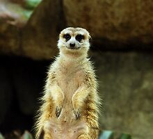 One meerkat coming up! by toffeespin